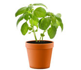 Basil Plant In A Pot — Stock Photo