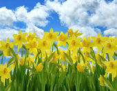 Yellow Daffodil Flowers — Stock Photo