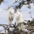 Great Egrets — Stock Photo #9177688