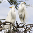 Great Egrets — Stock Photo #9287202