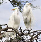 Great Egrets — Stock Photo