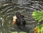 Alligator Hunting — Stock Photo