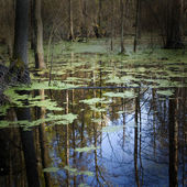 Forest Swamp — Stock Photo