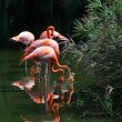 Pink flamingos on water — Stock Photo