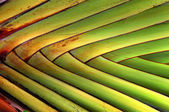Texture and pattern detail banana fan — Stock fotografie