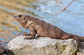 Mexican iguana — Stock Photo