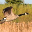 CanadGoose in flight — Stock Photo #10128557