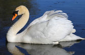 Lonely swan on lake water surface. — Stock Photo