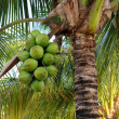Coconuts on palm tree — Stock Photo #10234982