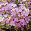 Stock Photo: Little pink and white saxifrage