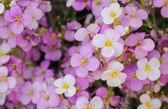 Mały różowy i biały skalnica — Zdjęcie stockowe
