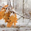Autumn leafs under snow — Stock Photo