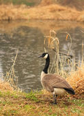 Canadian goose against the lake — Stock Photo