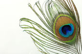 Close up of a peacock feather on white — Stock Photo