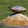 Turtle doing yoga finding the ultimate sense of balance — 图库照片