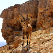 Ibex on cliff at Ramon Crater — Stock Photo #9772716