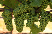 Clusters of growing green grapes on a vineyard — Stock Photo