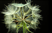 Dandelion on black background — Stock Photo