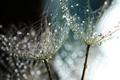 Water drops on dandelion — Stock Photo