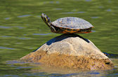 Turtle doing yoga finding the ultimate sense of balance — Stock Photo