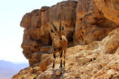 Ibex on the cliff at Ramon Crater — Stock Photo