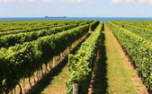 Rows of grape vines reaching out over the lake horizon — Stock Photo