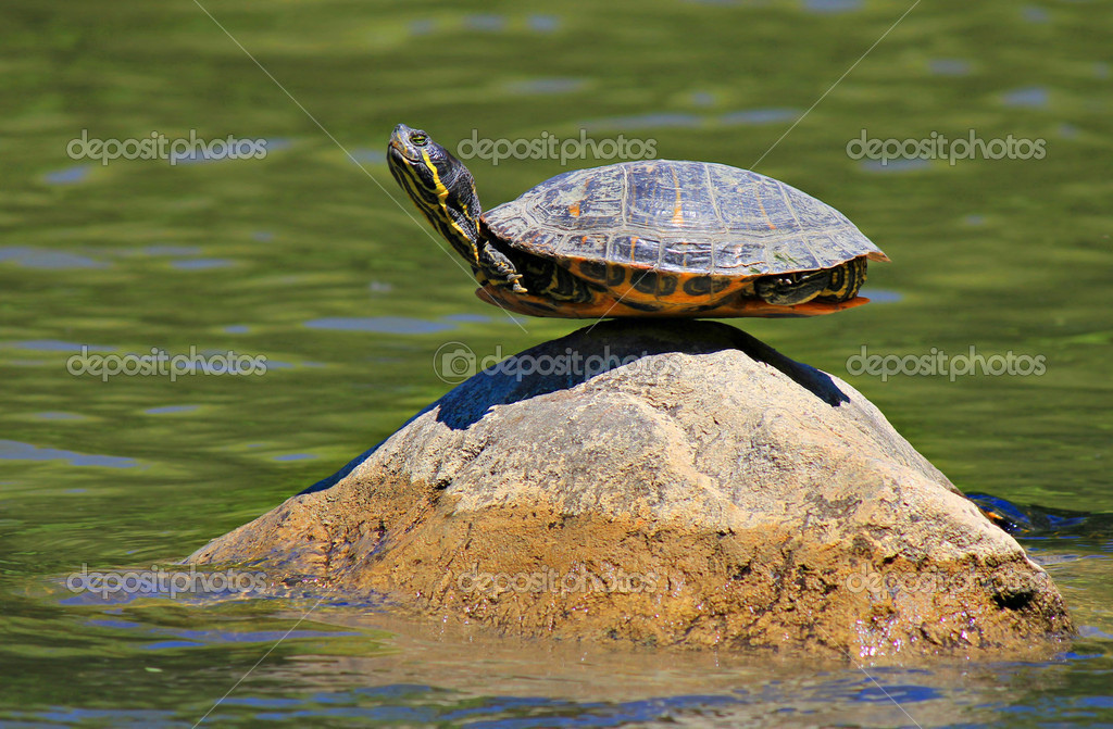 Turtle doing yoga finding the ultimate sense of balance on the rock — Stock Photo #9772369