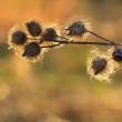 Closeup of burdock seeds on sunset with beautiful bokeh — Stock Photo