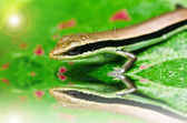 Skink in garden — Stock Photo
