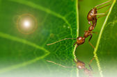 Red ant powerful — Stock Photo