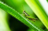 Grasshopper in green nature — Stock Photo