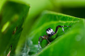 Jumping spider macro in green nature — Stock Photo