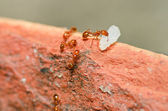 Fire ant power — Stock Photo