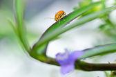 Orange skalbagge och violett blomma i naturen — Stockfoto