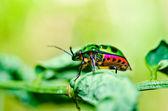 Escarabajo joya en una hoja en la naturaleza verde — Foto de Stock