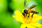 Bee and Little yellow star flower in green nature — Fotografia Stock