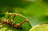 Red ant team work — Stock Photo