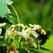 Carpenter bee in nature — Stock Photo #9635859