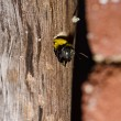 Carpenter bee in the nature — Foto de Stock