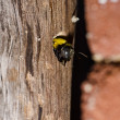 Carpenter bee in the nature — Foto Stock