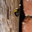 Carpenter bee in nature — Stock Photo #9639966