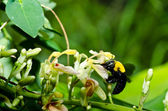 木匠蜜蜂的性质 — 图库照片