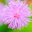 Stock Photo: Sensitive plant - Mimospudicin green nature