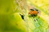 在绿色自然中的橙色甲虫 — 图库照片