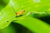 緑の自然の中で一般的な黒クリケット — ストック写真