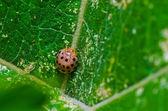 Escarabajo naranja en verde hoja — Foto de Stock