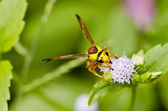 Yellow wasp in green nature — Stock Photo