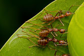 Red ants team work — Stock Photo
