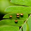 Bug eggs on green leaf — Stock Photo