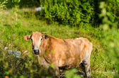 Brown cow on a farmland — Stock Photo